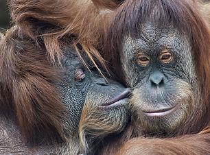 coppia orango.jpg
