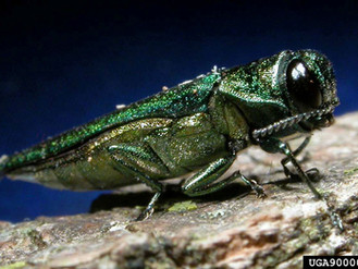 EAB Continues To Spread