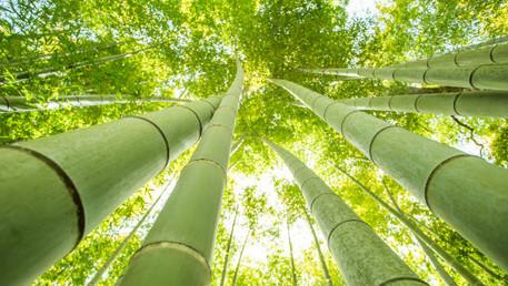 Reflexión: El bambú japonés