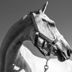 Polo Horse Luna.