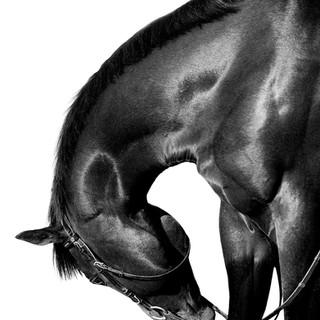 Dagur, thoroughbred horse.