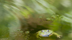 calm frog in turbulent water