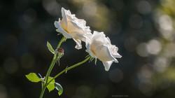 rose in vineyard