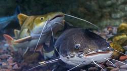 uae-146_catfish_dubai_aquarium