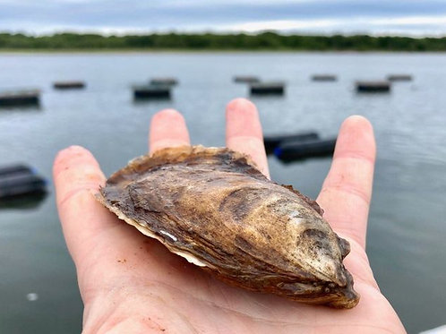 Little Shemogue Oysters