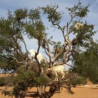 Goat on Trees Morocco