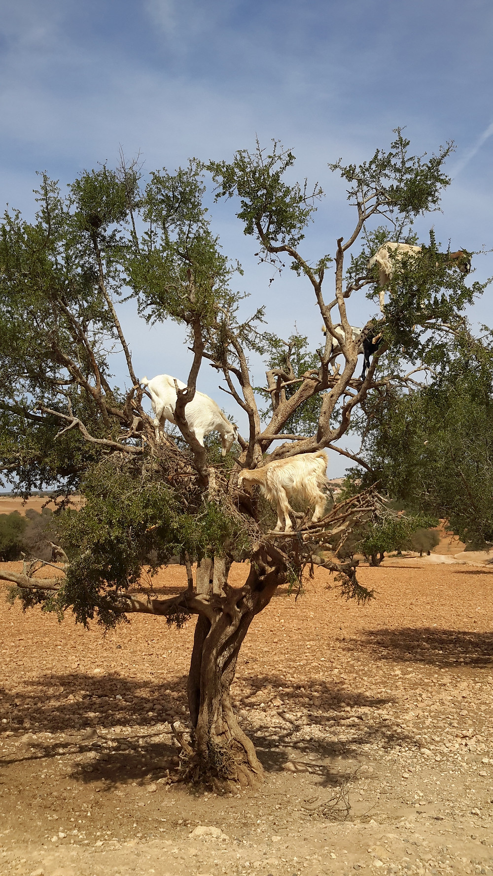 'Goat on Trees', Morocco
