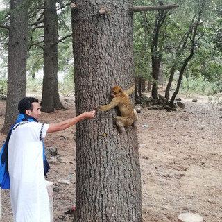 Barbary Monkeys, Morocco