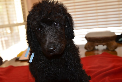 standard poodle Island puppies in TN GA AL MS KY FL AR IL IN MO