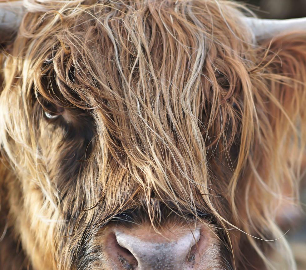 livin4wheel-cow_lowres.jpg