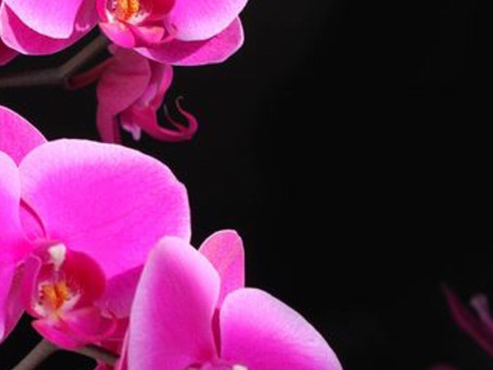 Phalaenopsis orchidea,Come curarla?