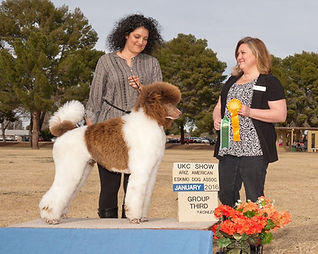 Brown and white parti standard poodle for sale Arizona