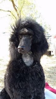 Black Standard Poodle for sale Arizona