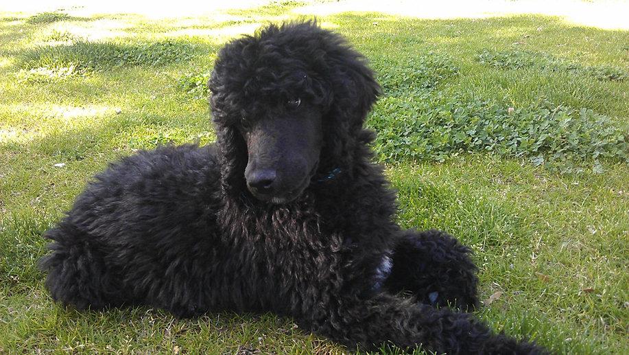 black standard poodle puppy - photo #43