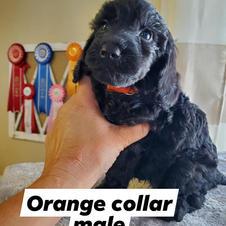 Orange Collar Male