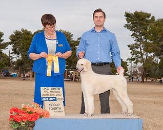 White Standard Poodle for sale Arizona
