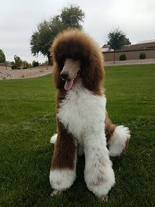 Arizona California Standard Poodle For Sale