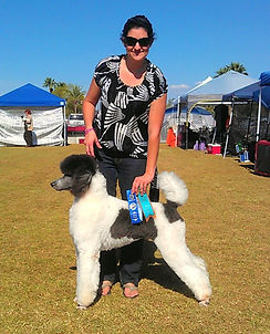 silver and white standard poodle arizona