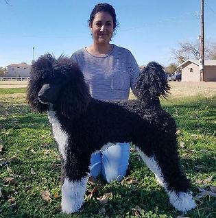 Black and white standard parti poodle Arizona