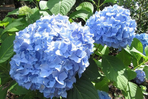 "Garden Club presents: Mal Condon, ""The Hydrangea Guy"""
