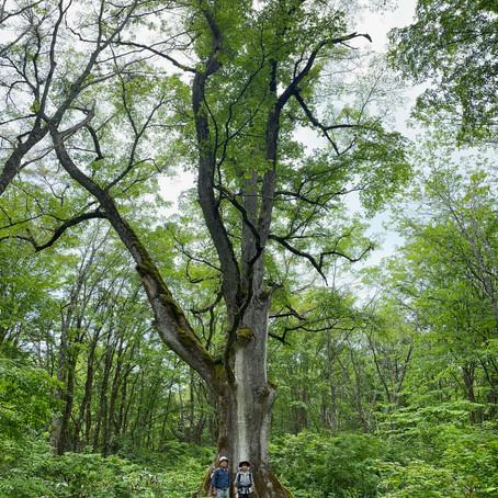 初夏の野尻湖と巨木