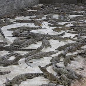 #3 - Luna de Miel - Un coccodrillo come cibo, Baia dei Porci, Trinidad e la Sierra Maestra- Cuba