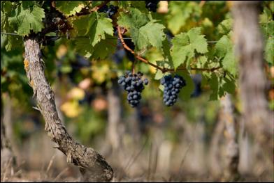Les Vieilles Vignes : 3 vignerons, 3 régions et 3 cépages !
