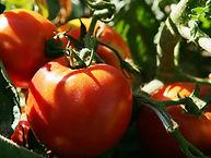 tomato-pic-small.jpg