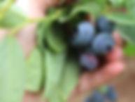 bluberries_4.JPG