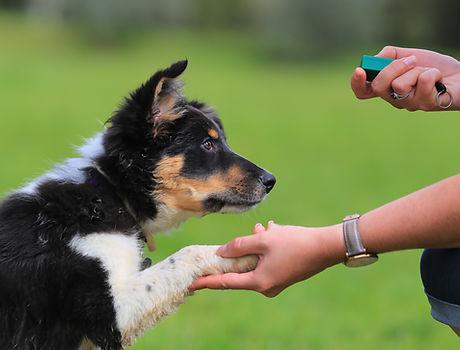 Puppy, border, collie, shepherd, dog, .jpg