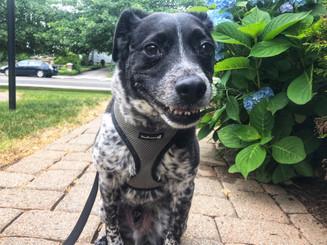 Dog walker in Norwalk