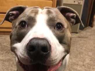 Benny the pitbull