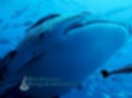 whale shark koh phangan