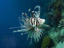 lionfish-at-anthong-marine-park-phangan.