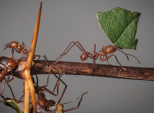 Cutter Ants-Sompopos