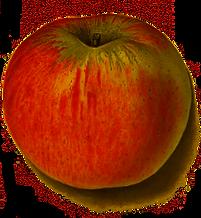 apple-botanical-drawing-red.png