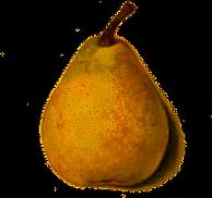 pear-botanical-drawing.png