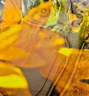Sylvia Yellow Snap Seed Image 1.jpg