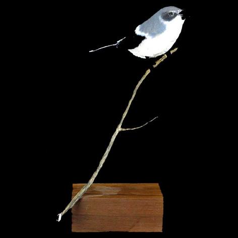 Loggerhead Shrike by Norman Suhs