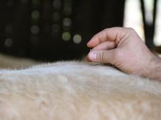 Soigner mes bovins par l'acupuncture - Révisions