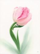 Pale Pink Tulip