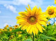 sunflower lorne.jpg