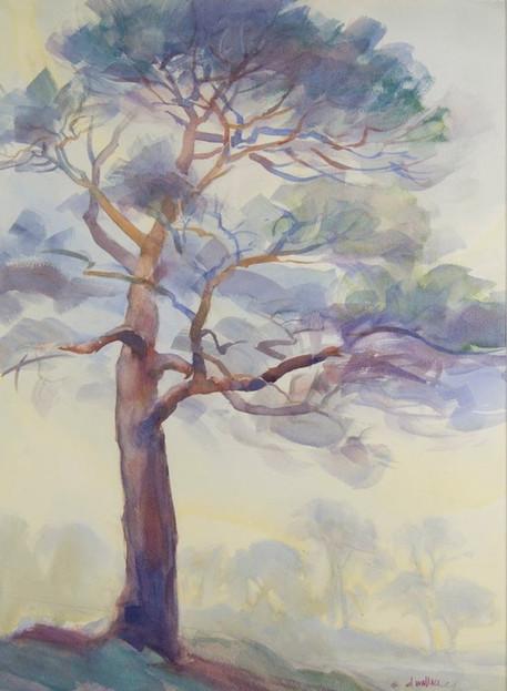 Cypress at Dusk in Asilomar California,