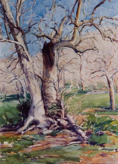 Sycamores in Coe Park, Watercolor, 22x30