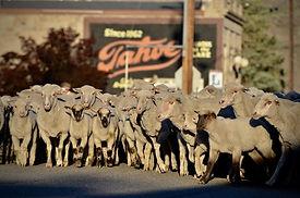 Sheep w. tahoe background.jpg