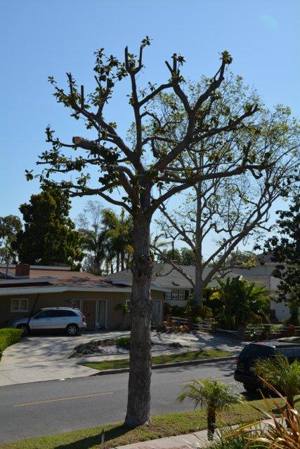 Trimmed Magnolia Tree