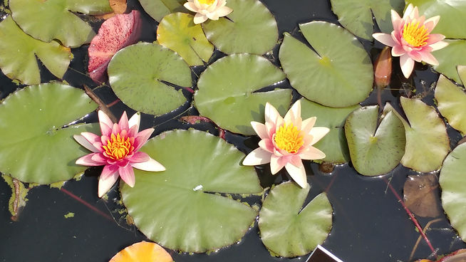 Waterlilies several.jpg