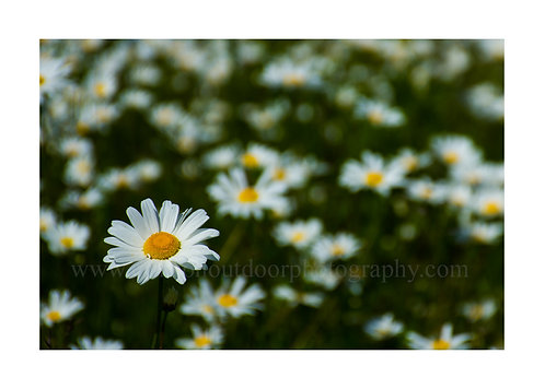 Field of Daisies / Helsinki, Finland, Cards and Prints