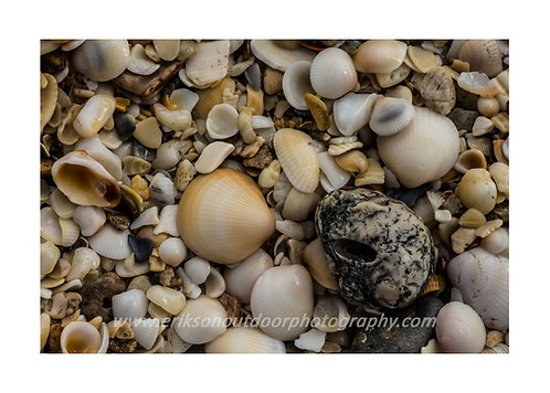 Singer Island Shells, Cards and Prints