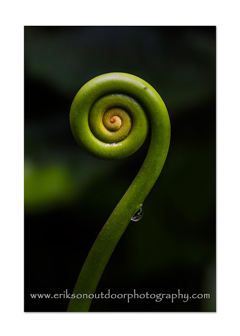 Fiddlehead in Costa Rica, Cards and Prints